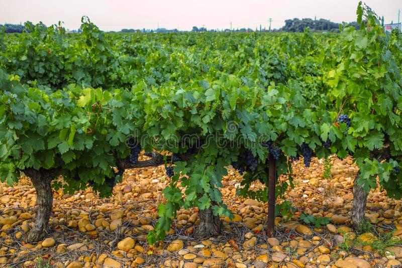 Французский красный цвет и завод виноградин розового вина, первый новый сбор виноградины вина в домен или замок AOP Франции, Cost стоковые фото