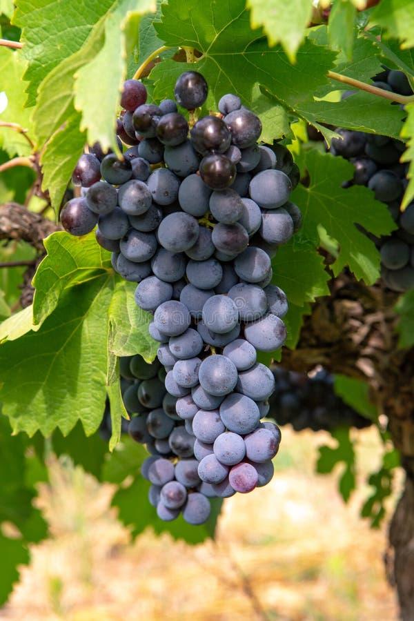 Французский красный цвет и завод виноградин розового вина, первый новый сбор виноградины вина в домен или замок AOP Франции, Cost стоковые изображения rf