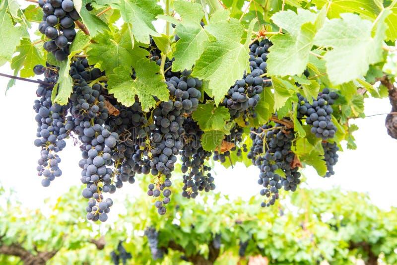 Французский красный цвет и завод виноградин розового вина, первый новый сбор виноградины вина в домен или замок AOP Франции, Cost стоковое изображение