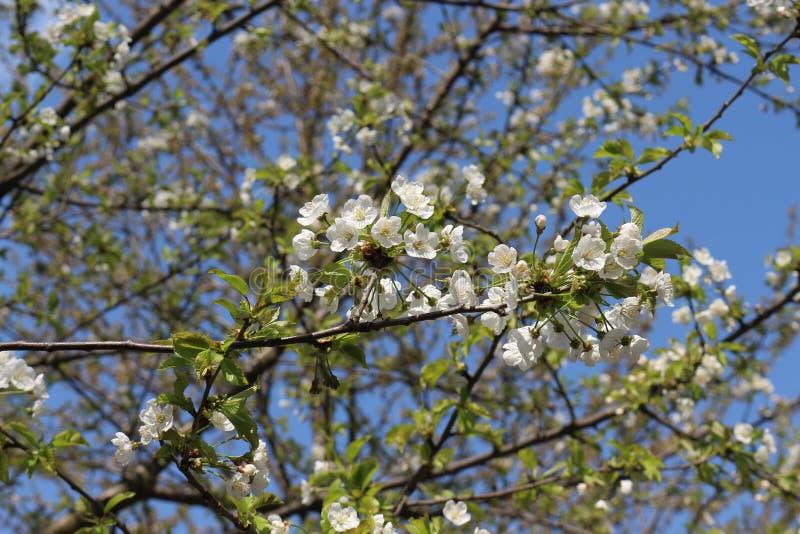 Фруктовое дерево зацвело в белых душистых цветках весной стоковые фото
