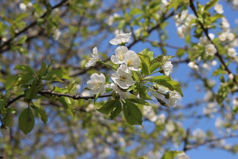Фруктовое дерево зацвело в белых душистых цветках весной стоковое фото rf