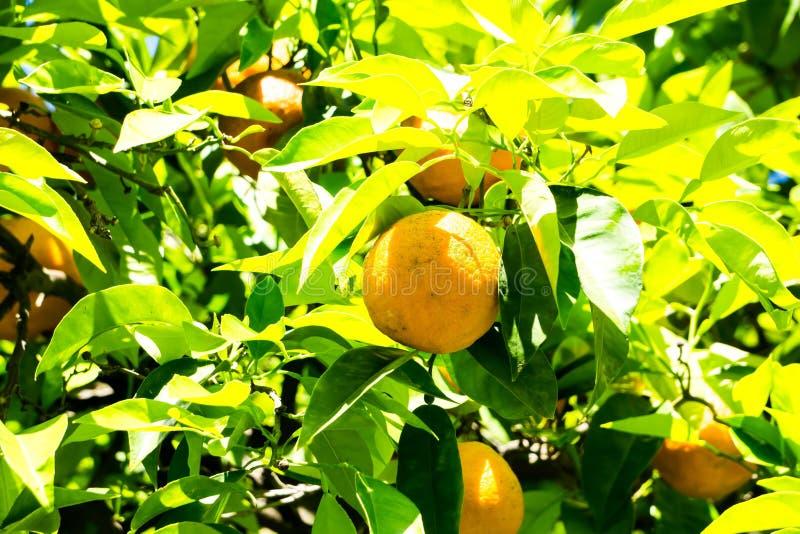 Фруктовое дерев дерево Калифорнии яркое оранжевое в городском sacramento в ca стоковое изображение