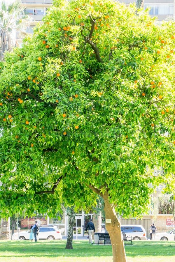 Фруктовое дерев дерево Калифорнии яркое оранжевое в городском sacramento в ca стоковое изображение rf