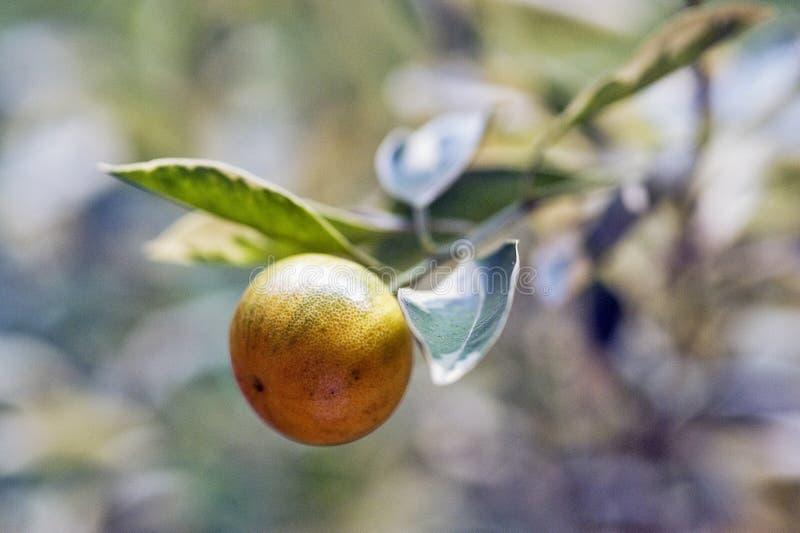 Download Фруктовое дерев дерево кумкватов очень оцененное в садовничать Стоковое Изображение - изображение насчитывающей kumquats, питание: 81805675