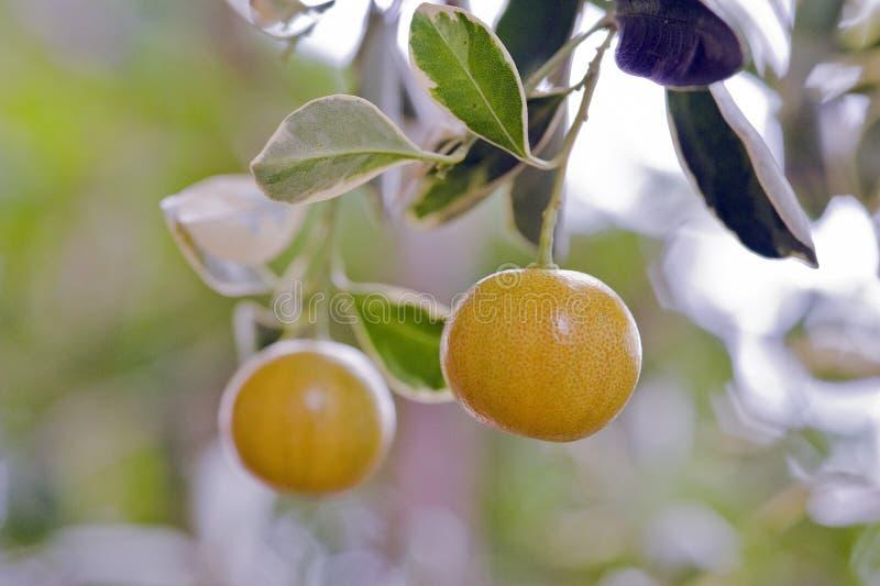 Download Фруктовое дерев дерево кумкватов очень оцененное в садовничать Стоковое Изображение - изображение насчитывающей опрятно, еда: 81805689