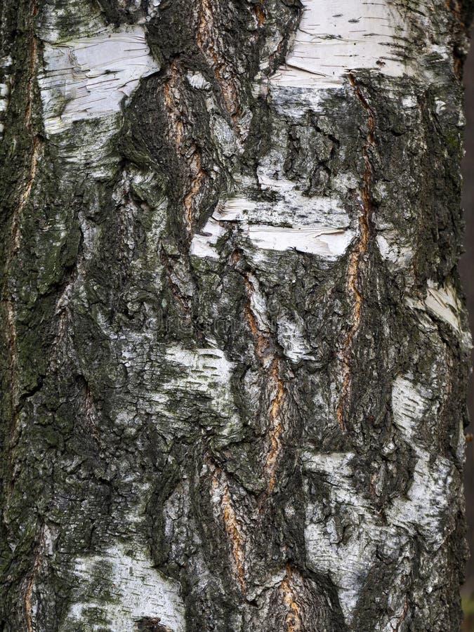 Фурроусы на коре старой березы выстроились в цепи стоковое фото rf