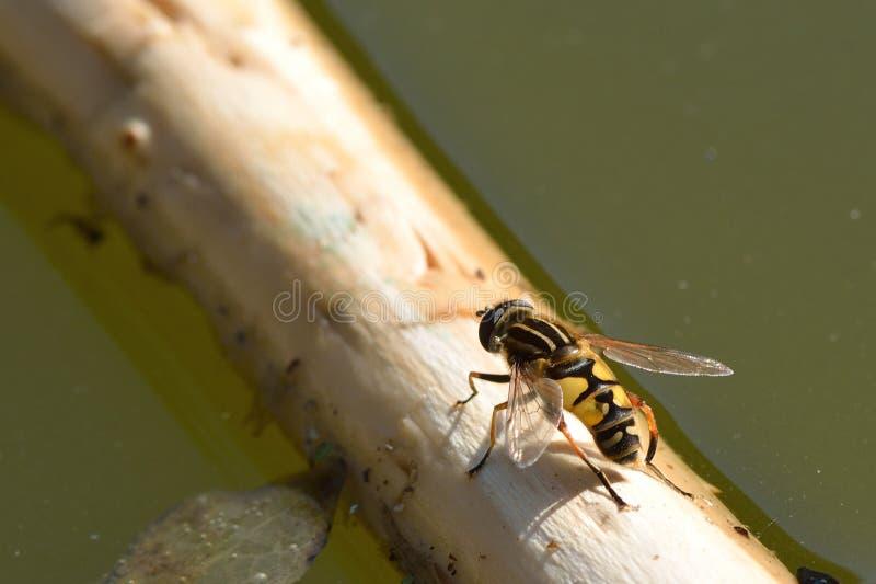 Футболист hoverfly (pendulus Helophilus) стоковые изображения