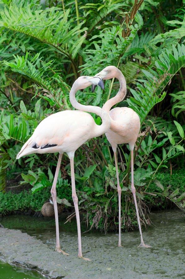 Download Фламингоы стоковое фото. изображение насчитывающей довольно - 33730516