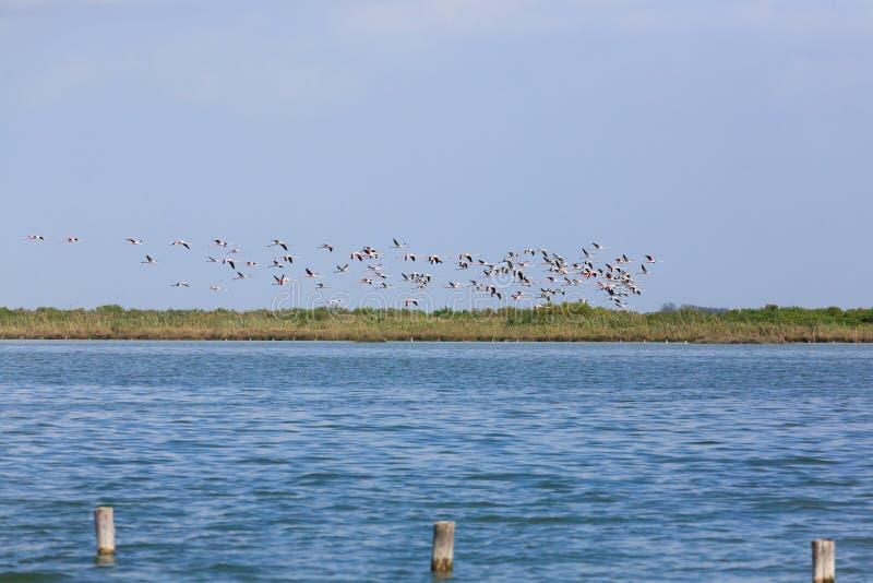 фламингоы flock пинк стоковая фотография