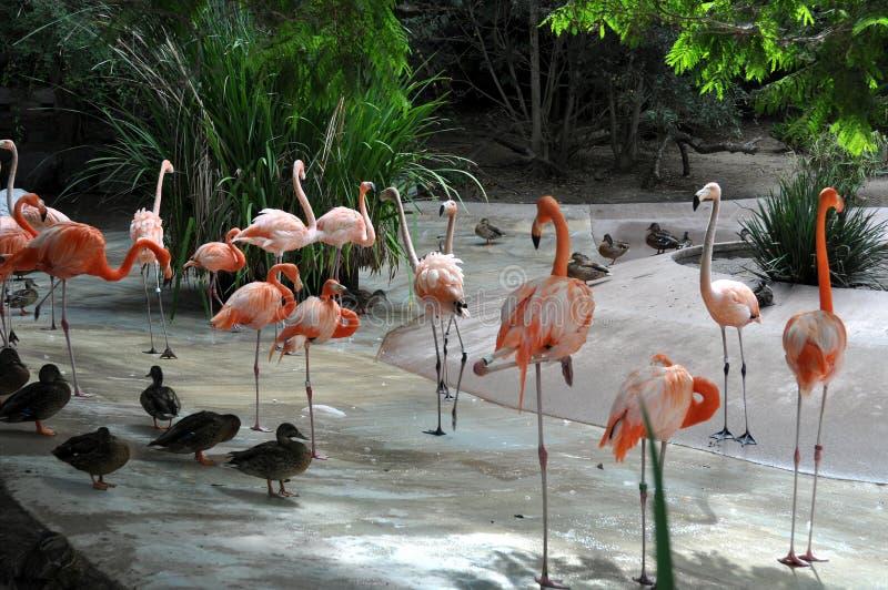 Фламинго на зоопарке Сан-Диего стоковые изображения