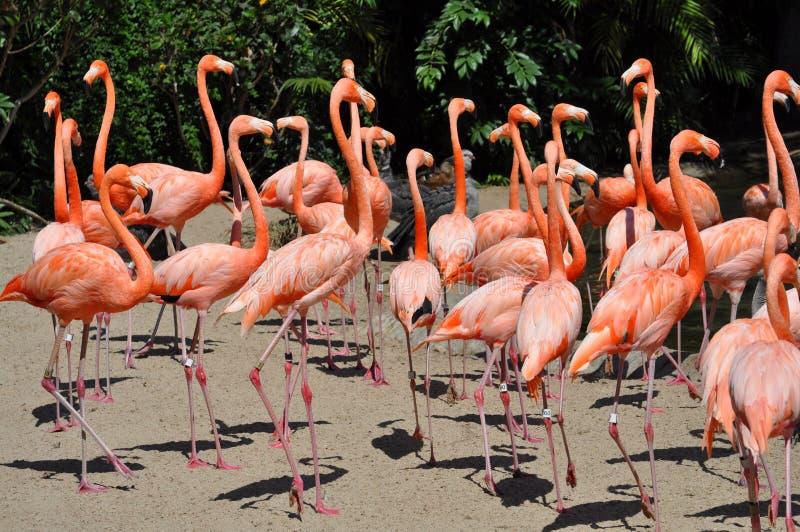 Фламинго на зоопарке Сан-Диего стоковое изображение rf
