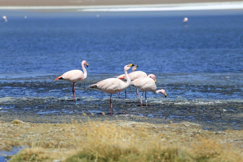 фламинго на озере соли, Боливии стоковая фотография