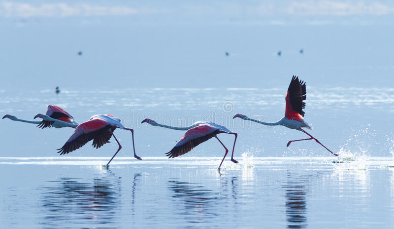 Фламинго около озера Bogoria, Кении стоковая фотография rf
