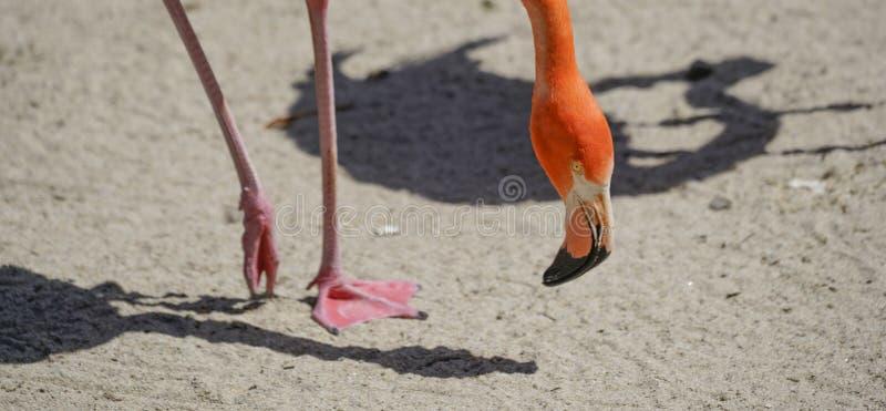 Фламинго, серия зоопарка, природа, животное стоковая фотография