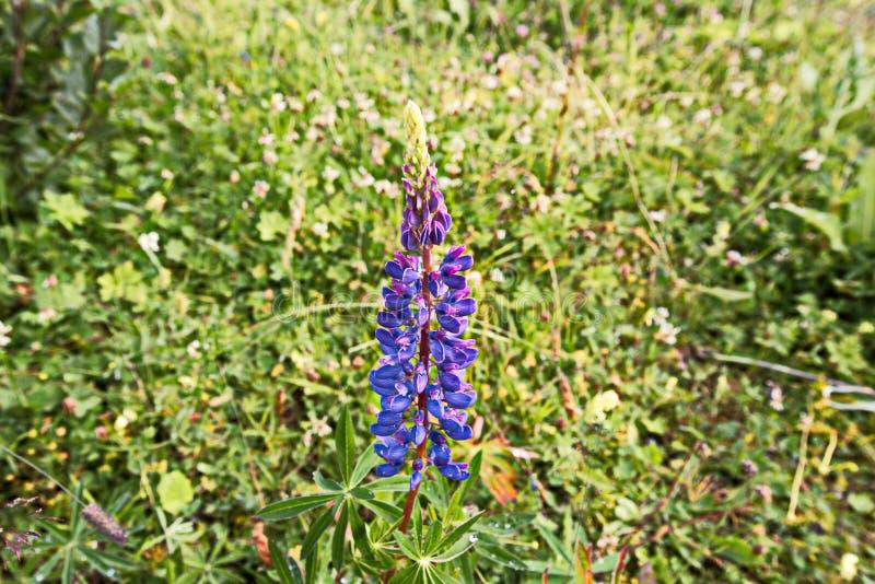 Флора горы в Trisanna Vally - Galtur стоковое фото