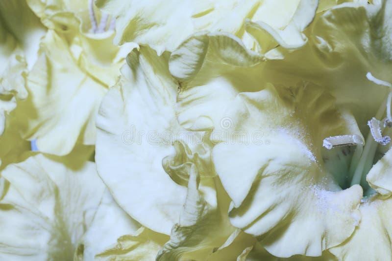 Флористическая предпосылка с желтыми гладиолусами стоковые фотографии rf