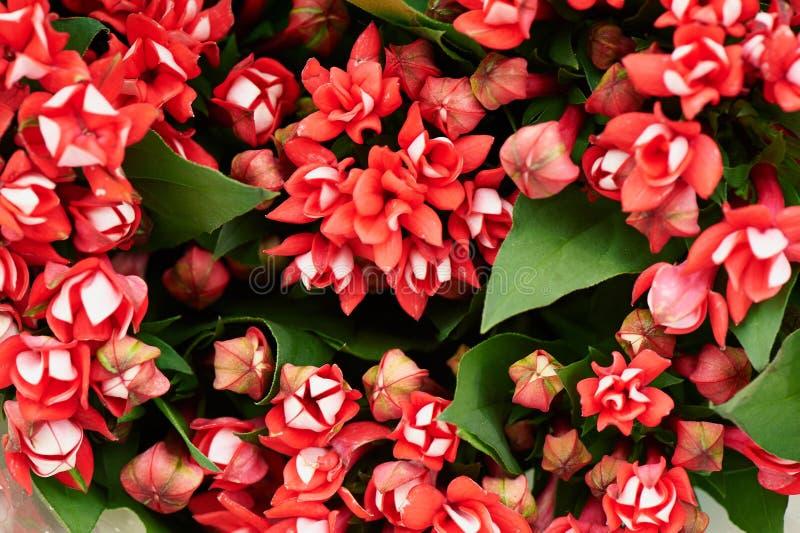 Флористическое красное bouvardia цветка для внутреннего художественного оформления и букетов текстура стоковое фото