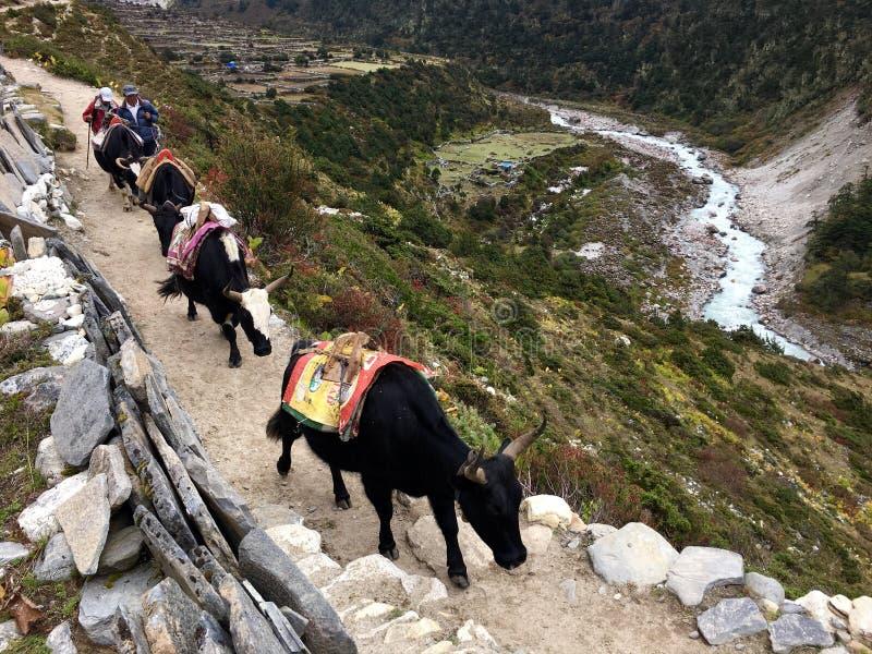 Хайнак (мужчина) или Dzomo (женское) использованы для того чтобы снести тяжелые весы в зоне горы Гималаев стоковое фото rf