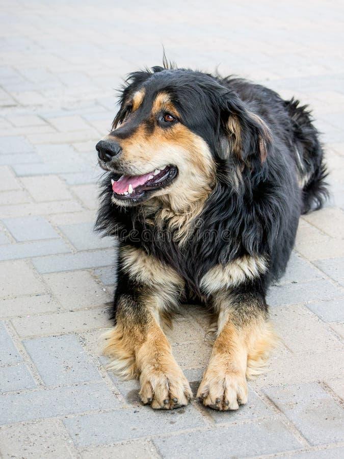 Халатная красивая собака лежит на тротуаре в приюте для животных стоковая фотография