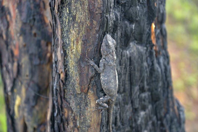 Хамелеоны изменяют цвет на, который сгорели стволе дерева стоковое фото
