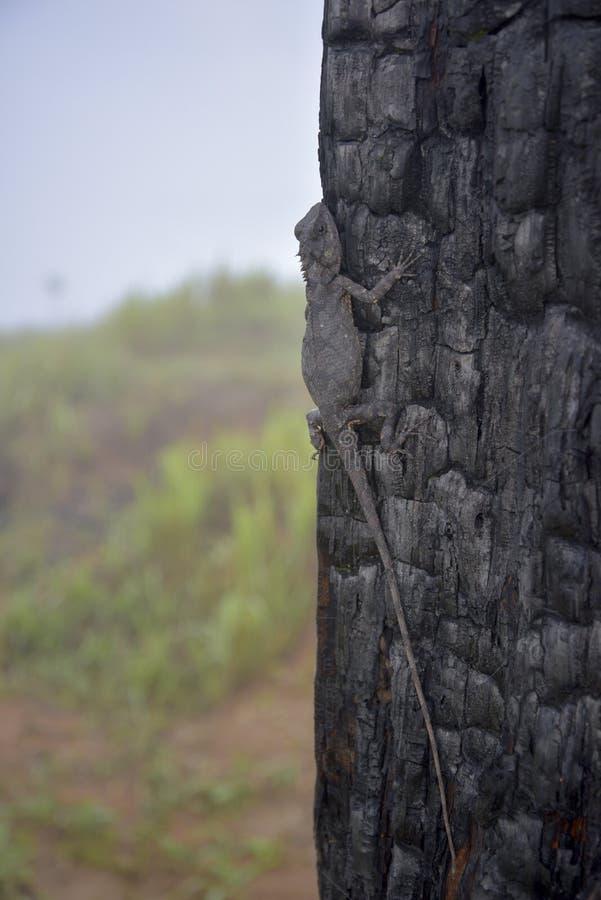 Хамелеоны изменяют цвет на, который сгорели части 12 ствола дерева стоковое изображение rf