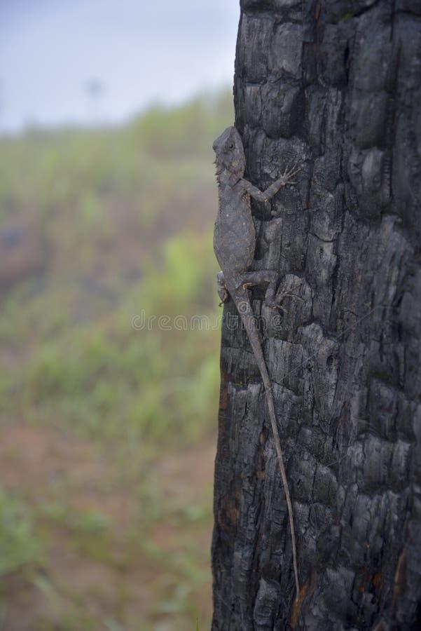 Хамелеоны изменяют цвет на, который сгорели части 7 ствола дерева стоковое фото rf