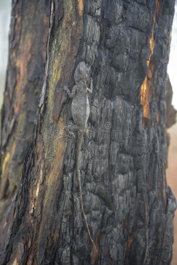 Хамелеоны изменяют цвет на, который сгорели части 6 ствола дерева стоковые изображения rf