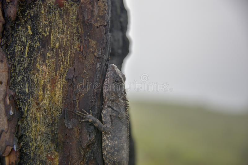 Хамелеоны изменяют цвет на, который сгорели части 3 ствола дерева стоковые изображения