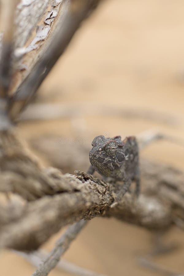 Хамелеон в кустарнике в пустыне r В дереве Изображение макроса Глаз в фокусе стоковые изображения