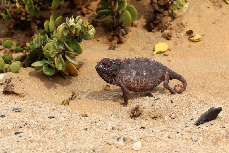 Хамелеон в пустыне - Намибия Африка стоковые фото