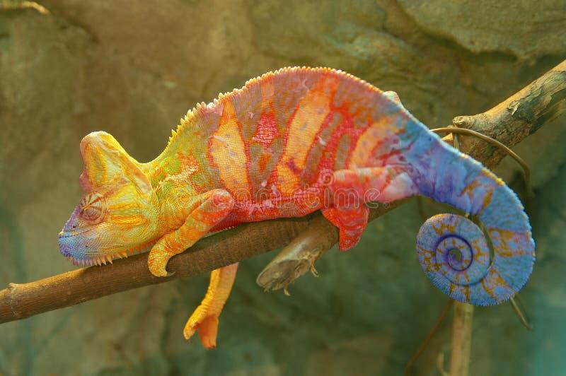 Хамелеон на ветви стоковые изображения rf