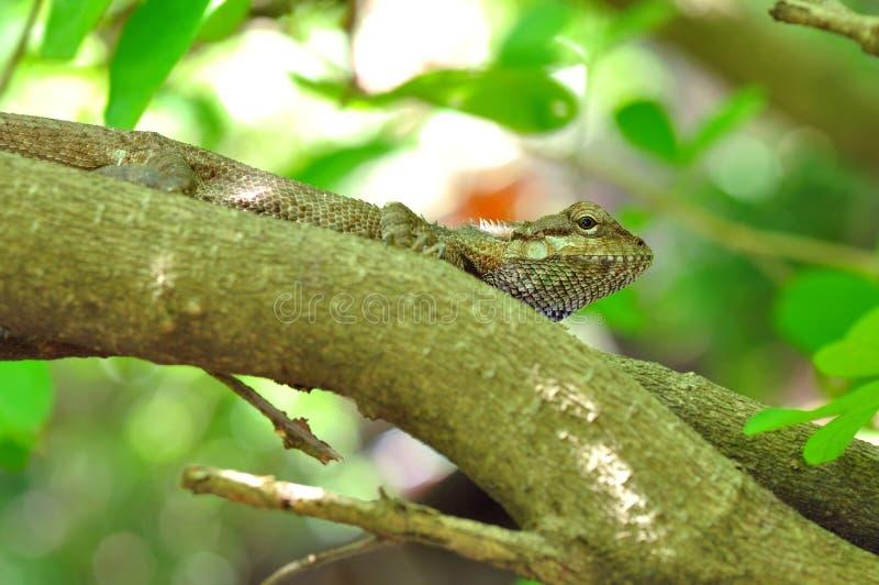 хамелеон тайский стоковые фото