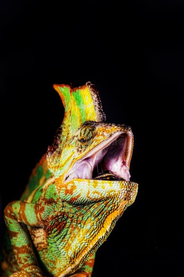 хамелеон Иемен chamaeleo calyptratus стоковое изображение rf