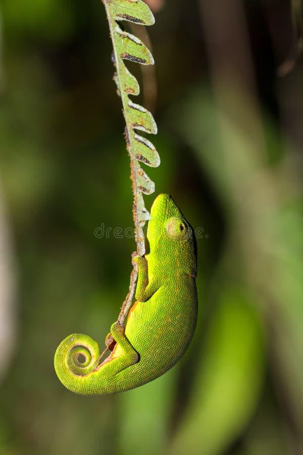 Хамелеон папоротника стоковые фотографии rf