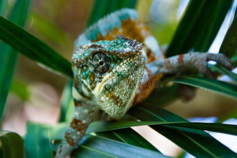 Хамелеон смотря через листья стоковое фото rf