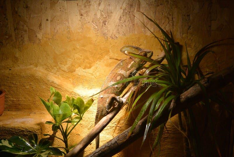 Хамелеон стоковое изображение rf