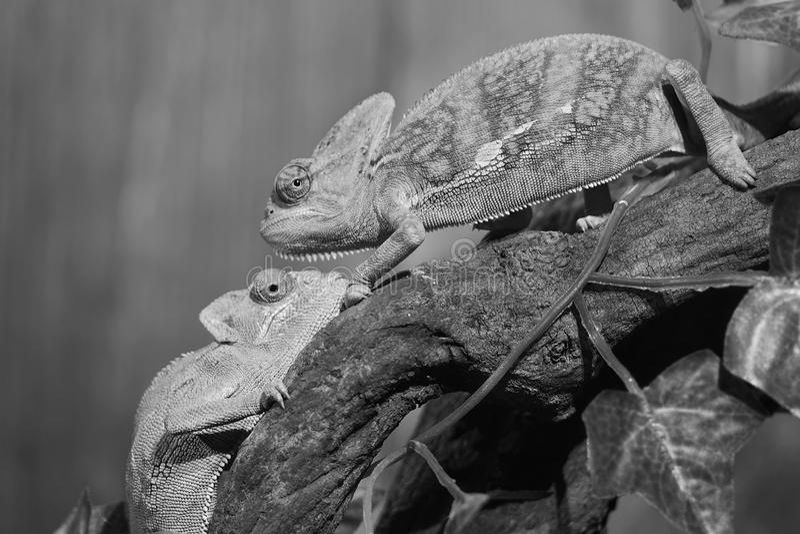 Хамелеон стоковая фотография rf