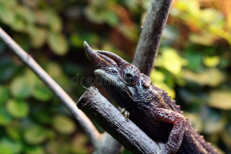 хамелеон jackson s стоковое фото rf