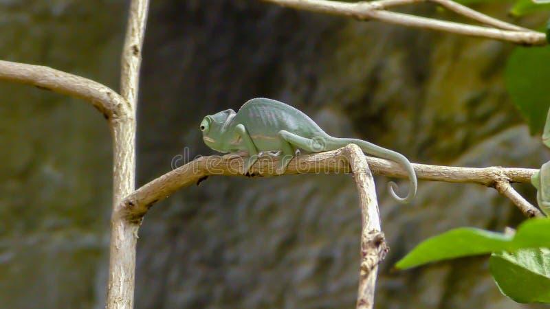 Хамелеон Perinet, gastrotaenia Calumma вид  стоковое фото
