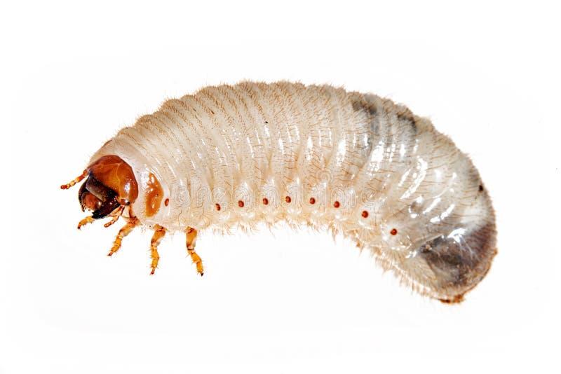 Харч майского жука стоковое фото rf