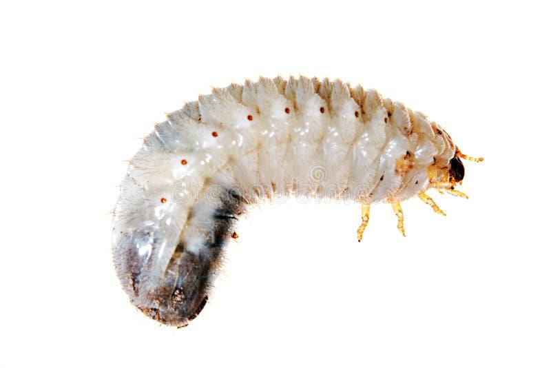 Харч майского жука стоковое фото