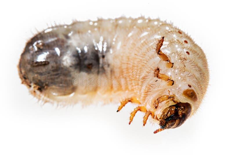 Харч майского жука стоковые изображения
