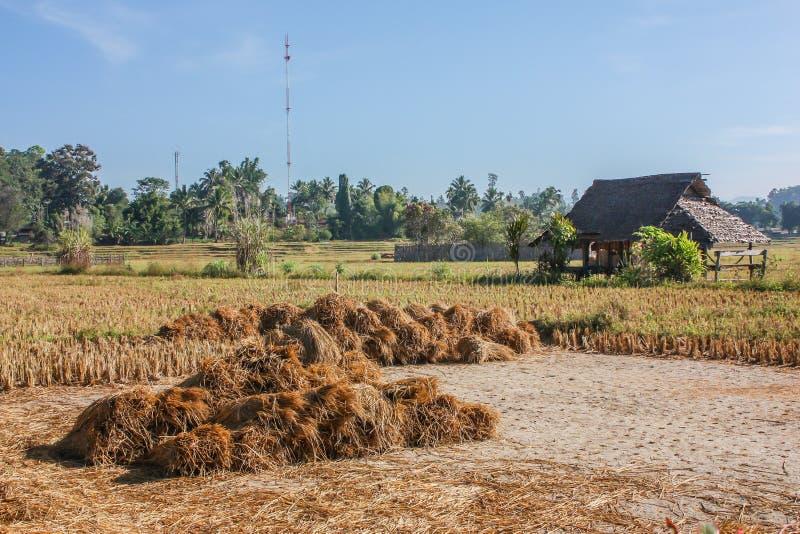 хата поля меньший рис стоковое изображение rf