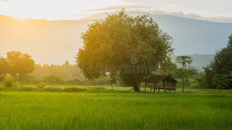 Хата фермера на зеленом рисе fields в аграрном заходе солнца блесков сада и света стоковое фото