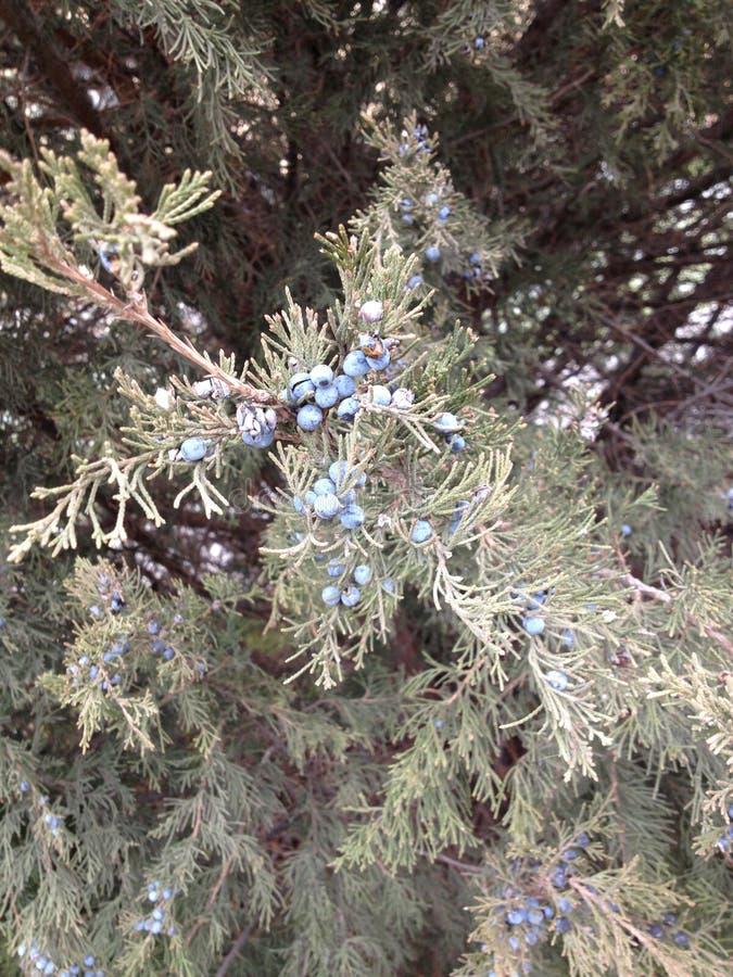 Хвойное дерево Foto стоковые фотографии rf