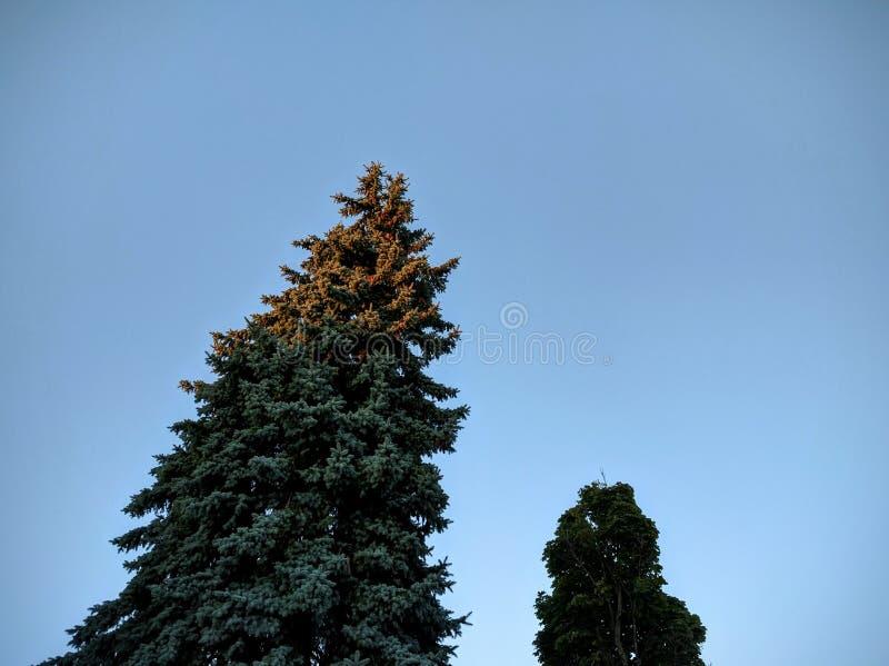 Хвойное дерево захода солнца стоковая фотография