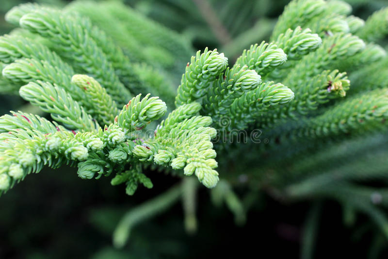 Хвойное дерево leaves2 стоковые фото