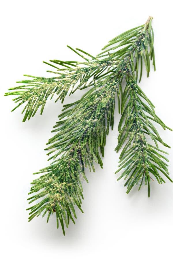 Хворостина вечнозеленой ели стоковые изображения