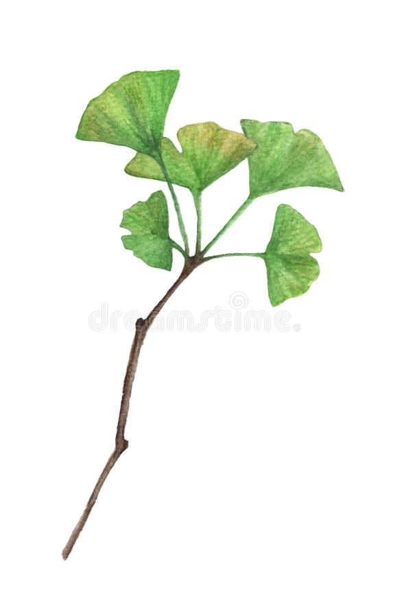 Хворостина листьев гинкго изолированных на белой предпосылке, иллюстрации акварели стоковое фото