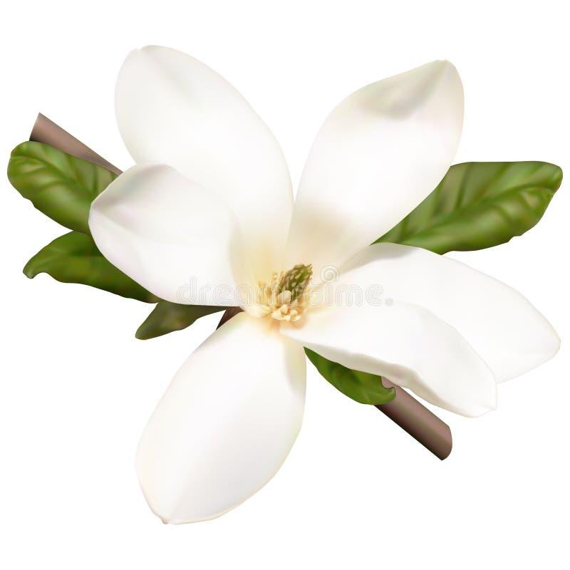 Цветок магнолии иллюстрация штока